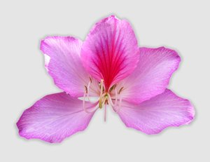 Pink Bauhinia - Tree Orchid
