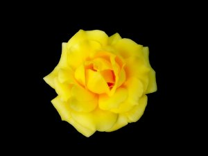 Rose 2: A beautiful, blousy yellow rose on a black background.