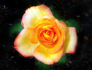 Double Delight Rose - Yellow: A yellow Double Delight rose edged with red/orange. Taken in New Farm Park, Brisbane, Queensland.