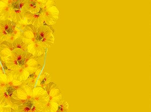 Floral Border 34: Floral border of nasturtiums in a variety of colours on blank page. Lots of copyspace. You may like:  http://www.rgbstock.com/photo/2dyVTpL/Hibiscus+Border+2
