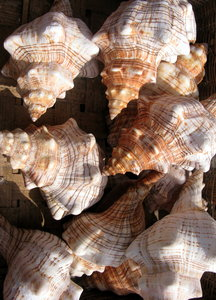 Sea shells 5