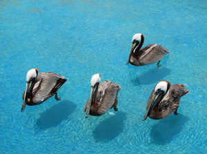 Pelicans: Yep, four of them, swimming pacefully