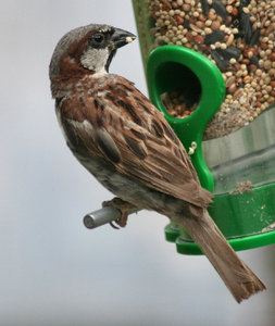 Bird: A bird in my birdfeeder