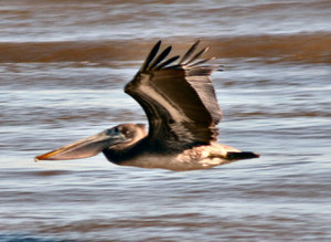 Texas Pelican: Pelicans flying in Kemah, Texas on the Texas Gulf Coast