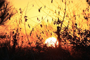 Sunset 1-8-09: Setting sun through the bushes in Texas.