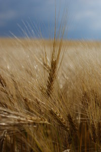 wheatfield 2: The wheat of the summer