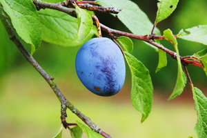 Plum: Plum on the tree
