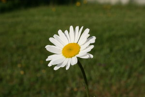 Summer Daisy 1: A Daisy on my lawn, Nova Scotia, Canada.