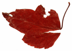 Vintage Leaf 3