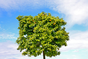 Tree of Orange 18