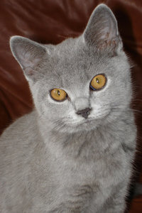 Biffi hi res: British Blue kitten named Biffi.