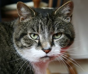 Tabby Cat: Picture of my favourite cat Buddy