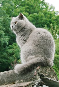 Biffi - British Shorthair 3