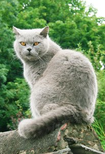 Biffi - British Shorthair 1