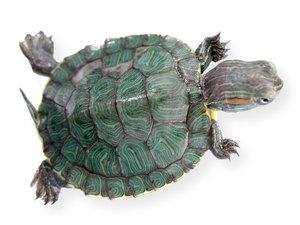 My niece's turtle