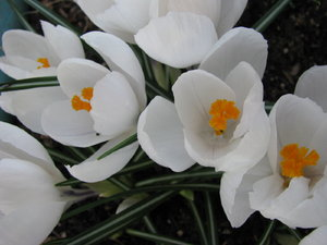 Crocus flowers 4