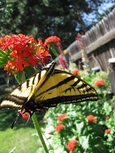 Flying Flower 2: I was lucky to catch this butterfly in our garden today. After having taken Entomology, this is definitely a Two-Tailed-Swallowtail.