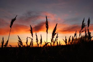Reedbed at sunset 3