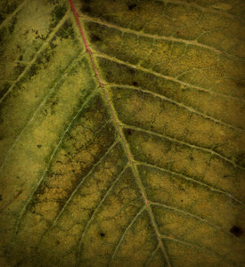 Leaf Texture: A vintage leaf texture.Please visit my gallery at:http://www.stockxpert.com ..
