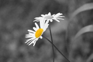 Daisy Daisy Selective Colour