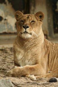 Lion in Zoo of Antwerp