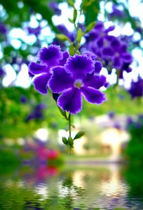 Purple Flower Over Water: A tiny purple flower suspended over water. Photo and graphic. Could illustrate health, going green, religious themes, hope, happiness, beauty, youth, etc.