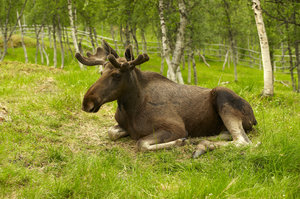 Resting moose: Young male moose resting in Arctic Zoo, Norway