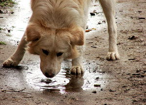 thirst: dog drinking water