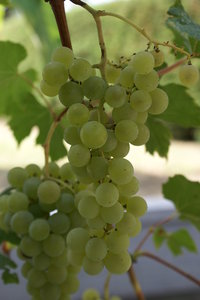 Grape from Portugal