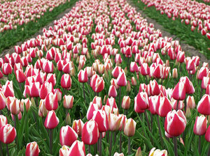 Dutch Tulip Season