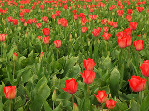 Tulip Season in the Netherland