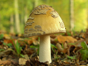 Mushroom