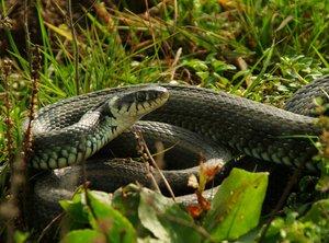 Snake /Natrix natrix)