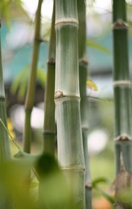Bamboos In The Garden