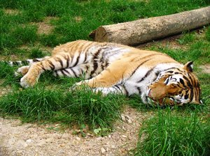 tiger: sleepy tiger