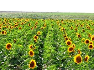 sun flower 6