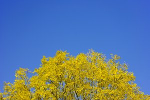 Swedish autumn colours 1: Ash tree in autumn 2008 against blue sky