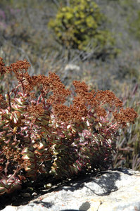 Karoo succulents 4: Study of Karoo succulents, some of which are endemic to South Africa, and a few of which are endemic to the Warmwaterberg mountain range only! All beautiful...Credit to read