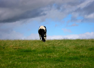 Cow: Cow on the meadow
