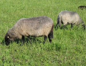 grazing sheep 2
