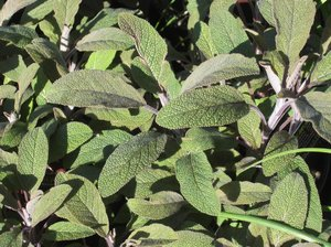organic purple sage plants: sage is well used in herbal medicine because it is aromatic, carminative, spasmolytic, antiseptic, astringent, antihidrotic...