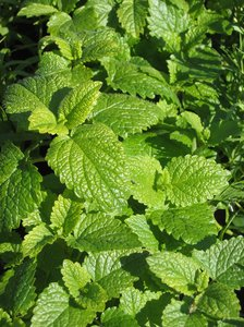 melissa plants - lemon balm