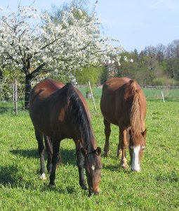 "grazing horses: grazing horses on an organic farm in Berlin, called ""Domäne Dahlem"""