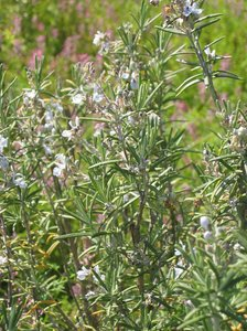 rosemary: Rosemary is used for,energy,feeling of well-bein,it is stimulating, too.,