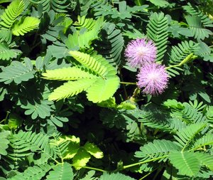 mimosa - shrinking violet: The Shy Mimosa's plants go, the mimosa is a bit of a shrinking violet. When touched, the mimosa's frondlike leaves fold up and the stems droop.