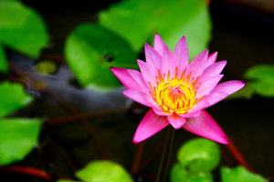 Waterlily 8