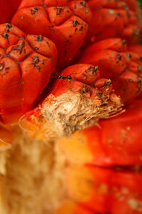 Orange Fruit: Photo of an interestingly shaped orange fruit, one with an ant.