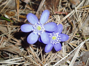 Blue anemones: The first flower in spring.