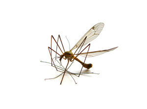 mosquito 1