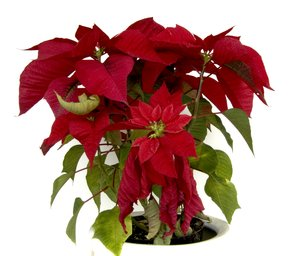 poinsettia christmas 1